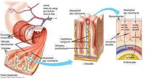 paroi intestinale, intestin grele, petit intestin